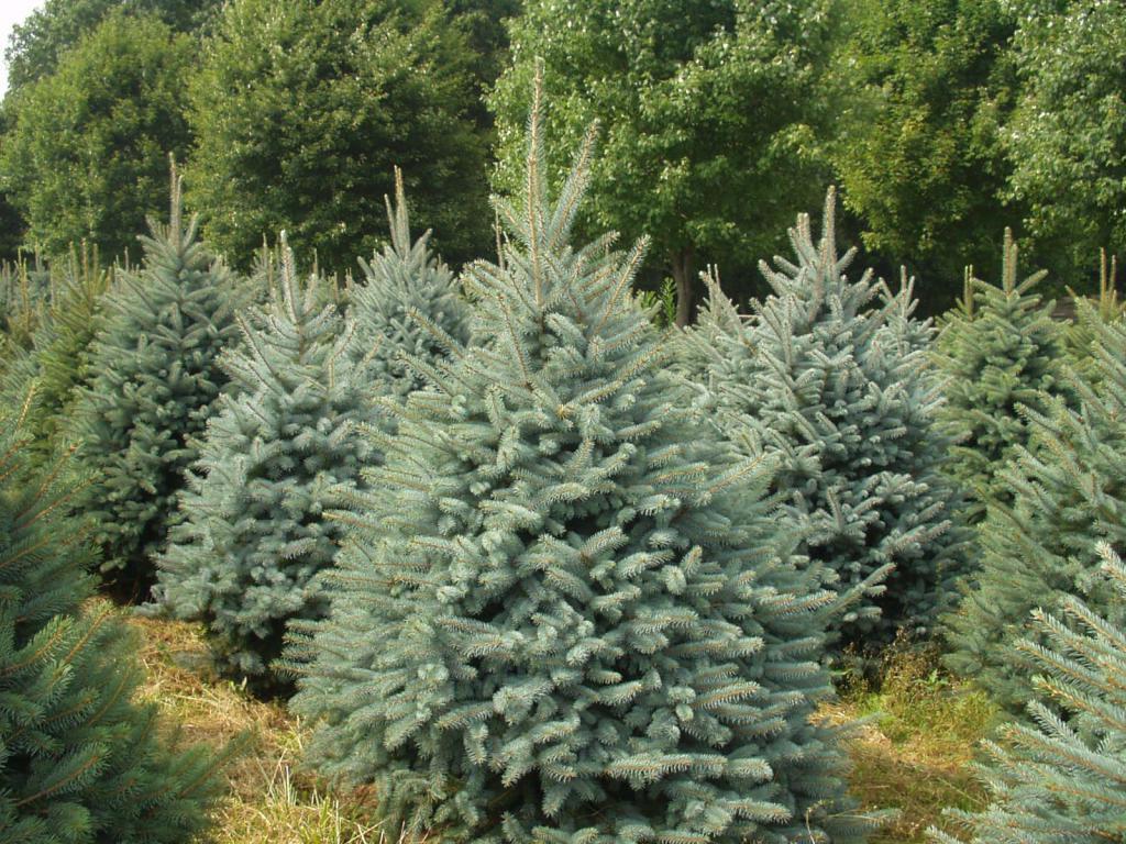К чему снится елки сажать 23