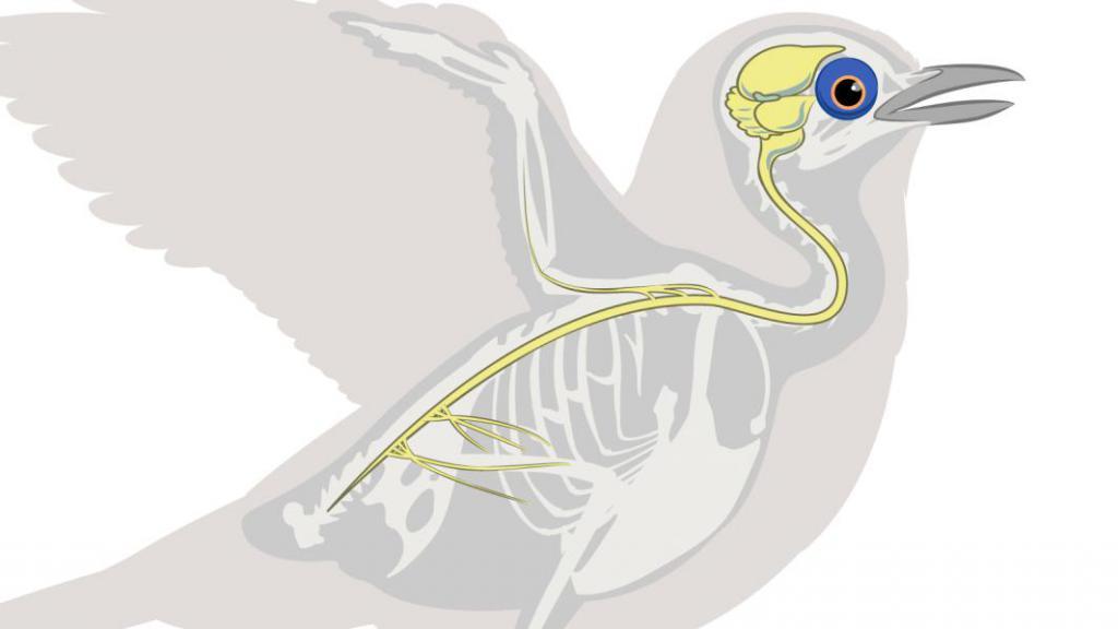 central nervous system of birds