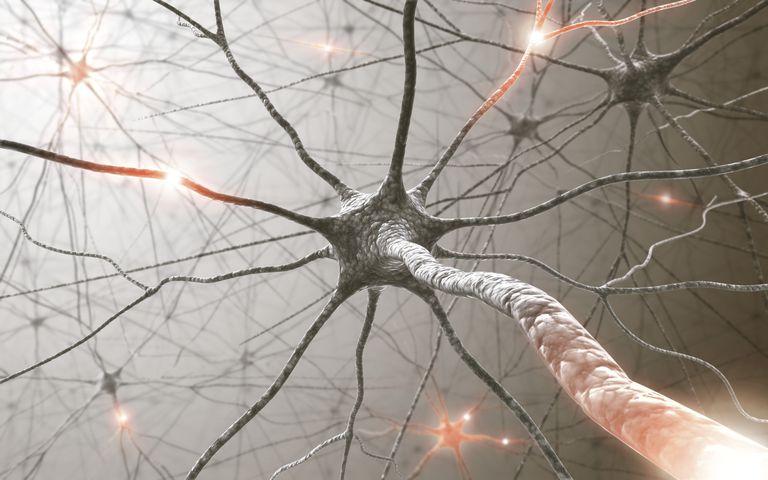 nervous system chord
