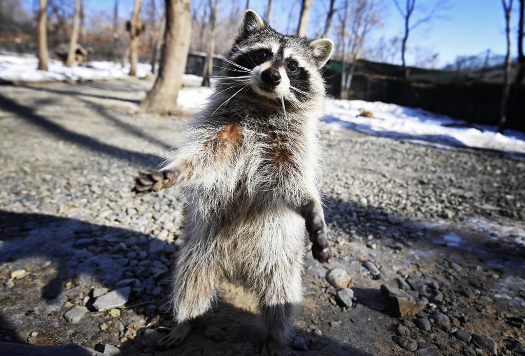 Raccoon in the safari park Shkotovo