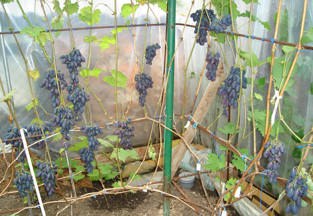Grapes Kodryanka: cultivation features