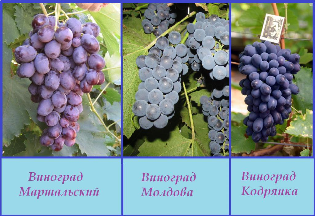 Comparison of grape varieties