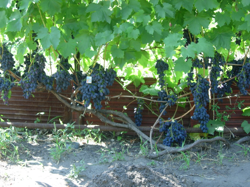 Grapes Kodryanka: reviews