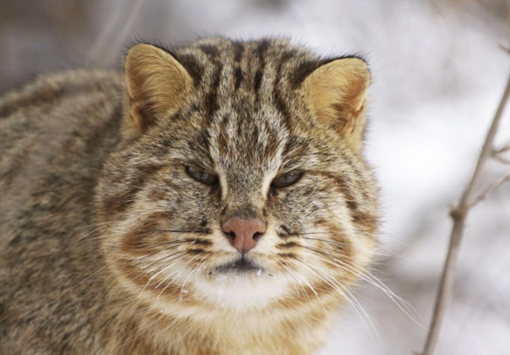 Внешний вид амурского кота