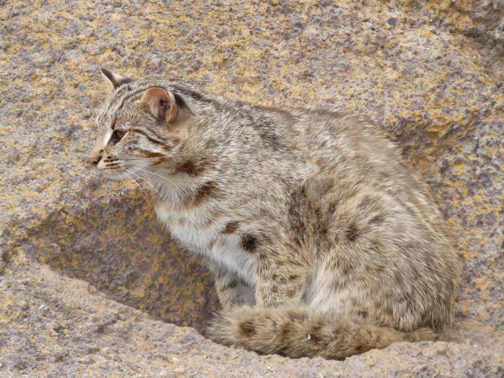 Амурский кот в зоопарке