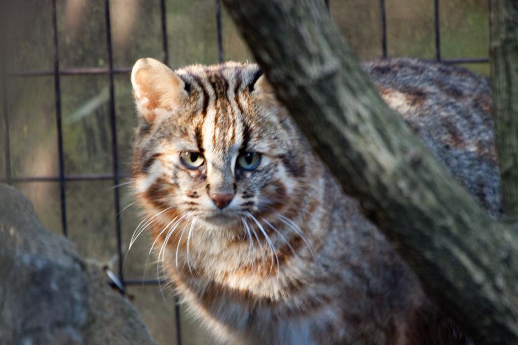 Дальневосточный кот ареал