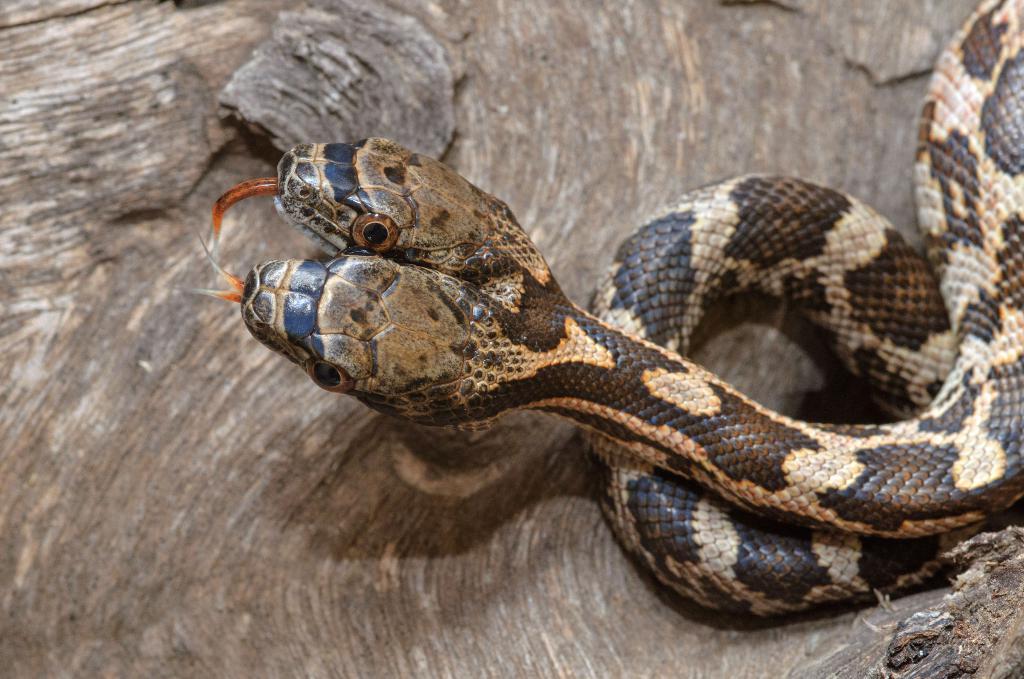 Двухголовая змея из США