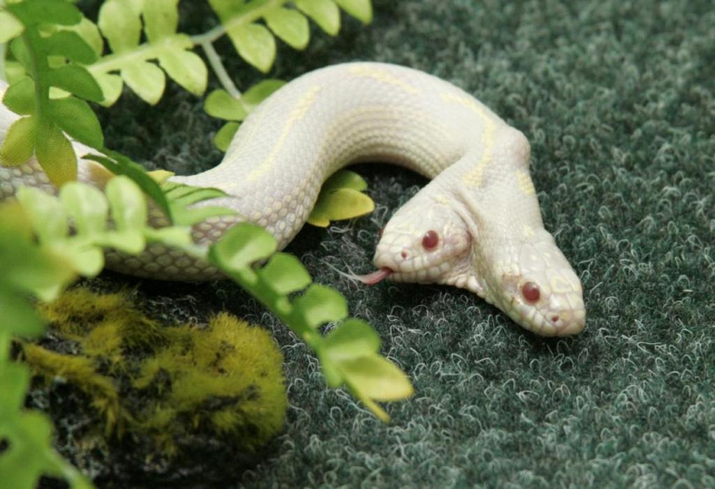 Реальная двухголовая змея-альбинос
