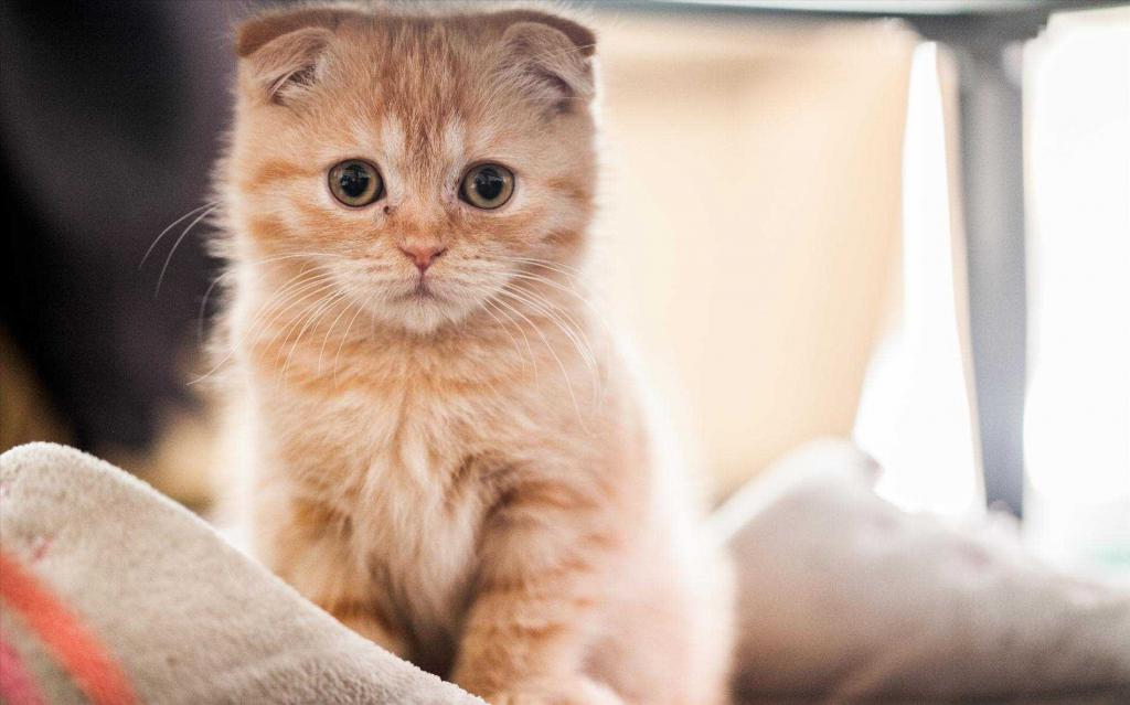 Scottish ginger kitten