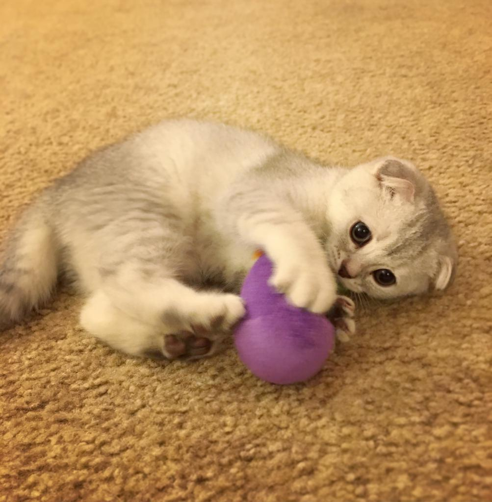 Kitten is played with a ball
