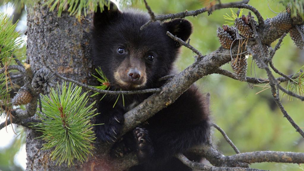 Bear cubs grow long