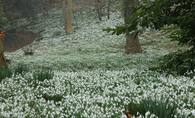Подснежники – первые весенние цветы. Где растут подснежники?