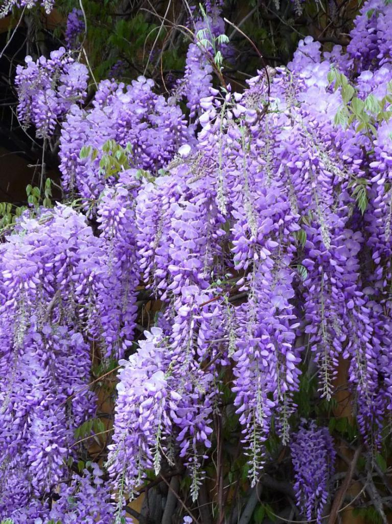 Wisteria inflorescences Chinese