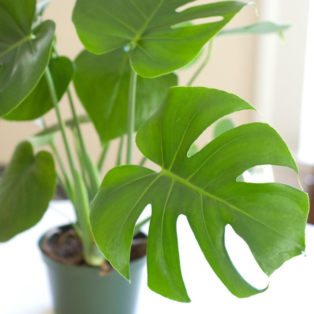 вот картинки монстеры комнатное растение имени