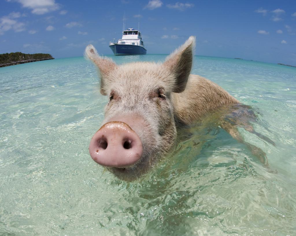 Свинья: характер и совместимость