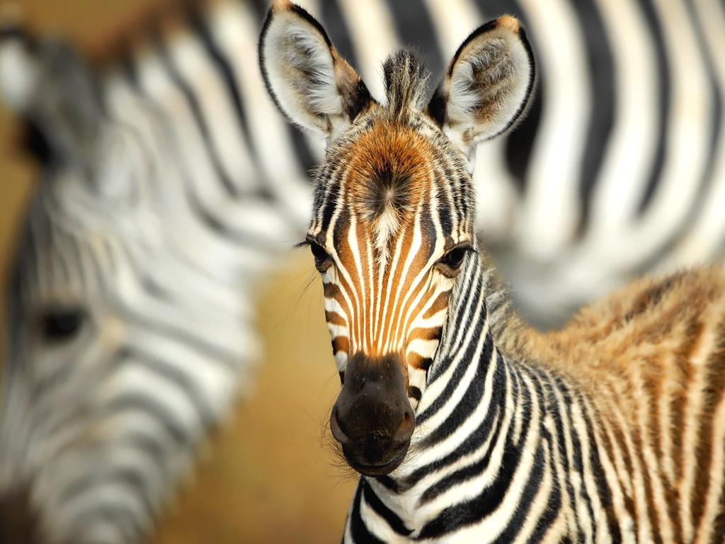 Лиры картинки, картинка зебра с детенышем