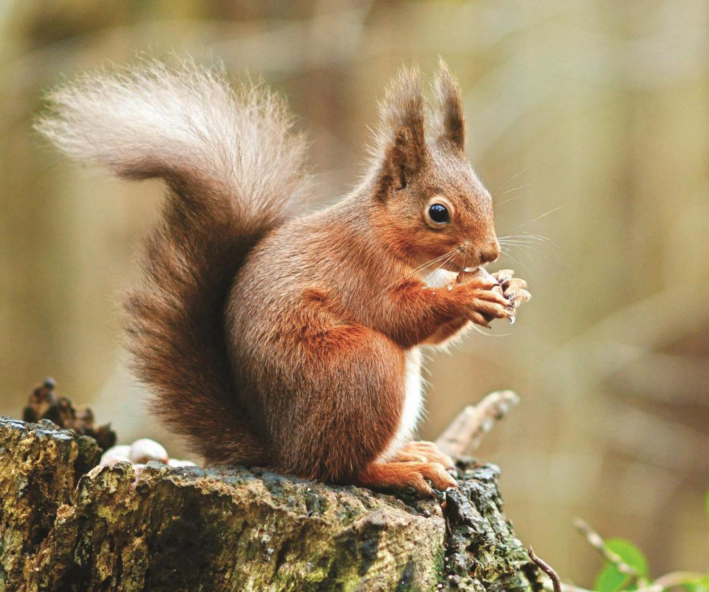 squirrel - a resident of the taiga