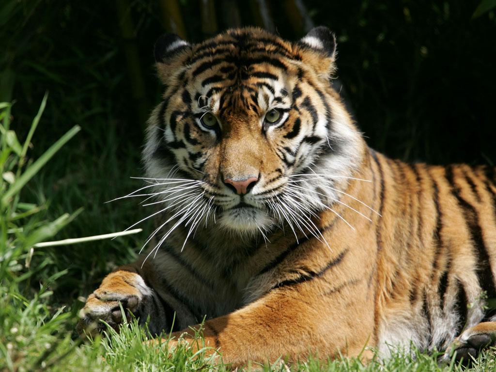 Ussurian tiger