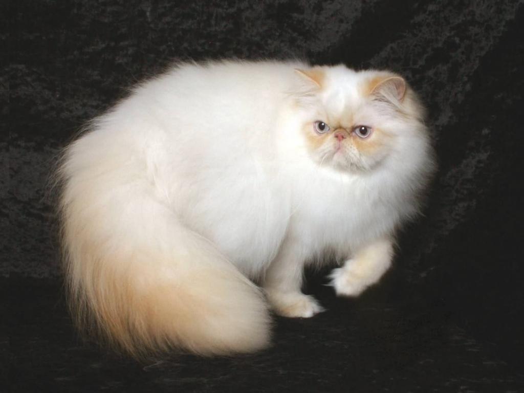 гималайская кошка характер
