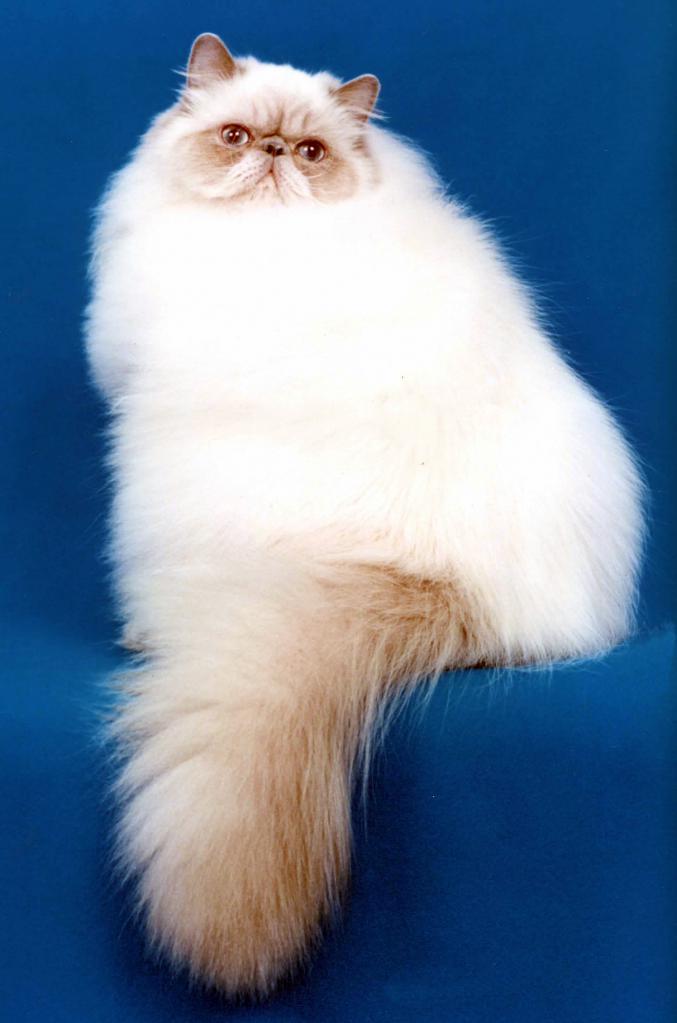 гималайская кошка отзывы