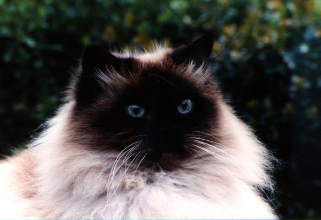 гималайская кошка содержание