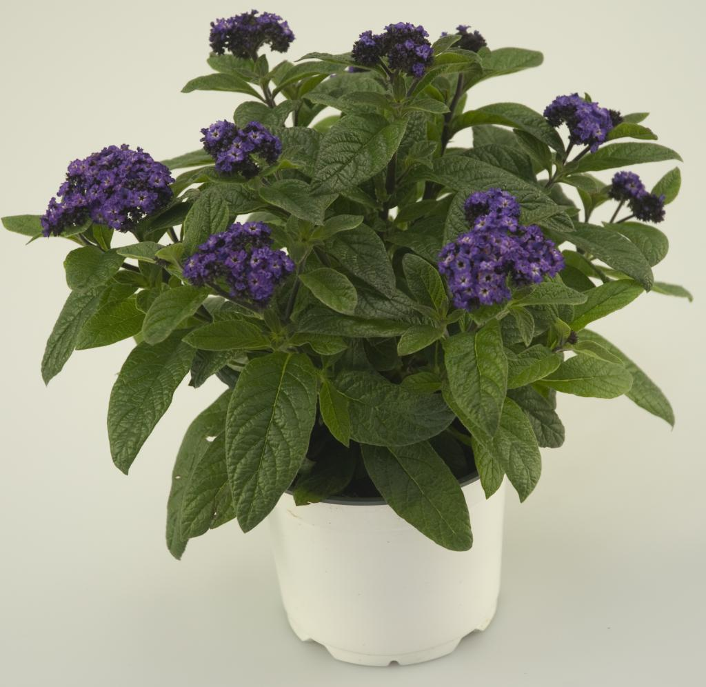 Heliotrope in a pot