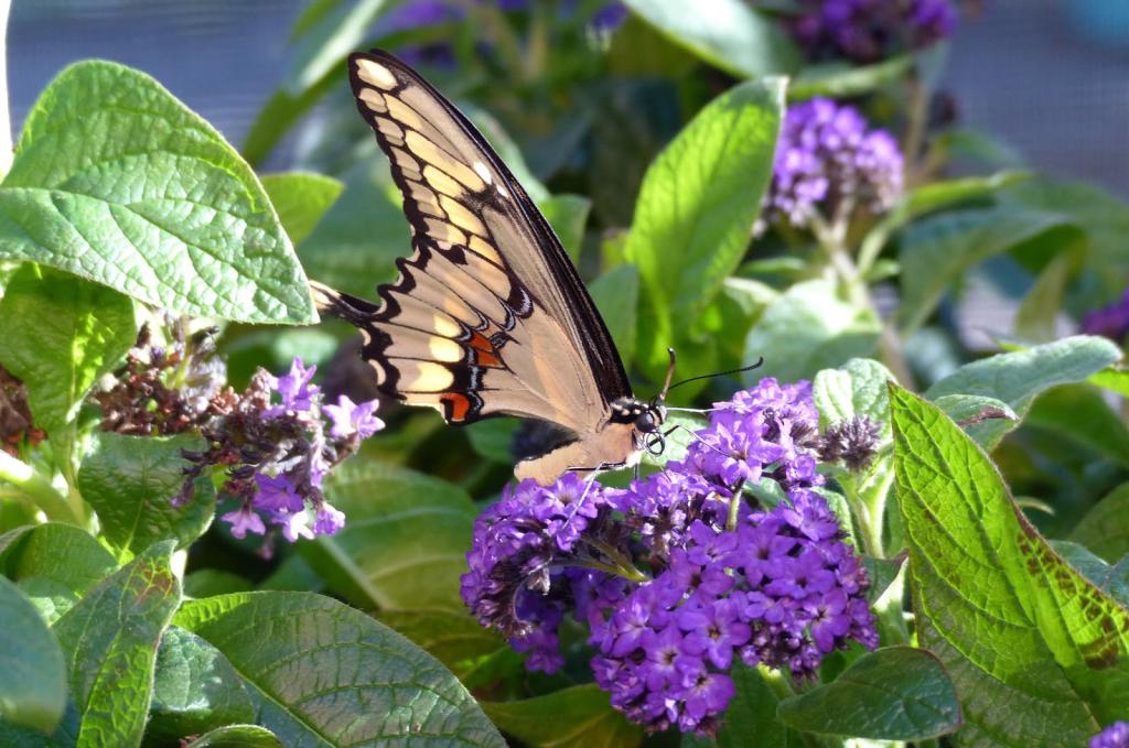 Heliotrope attracts insects