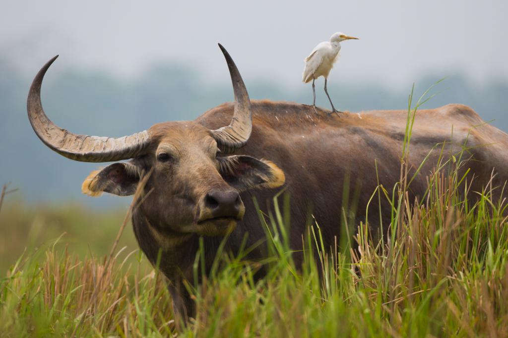 думают, что фото буйвола животное сквере, который народе