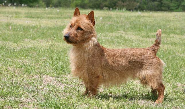 breed australian terrier
