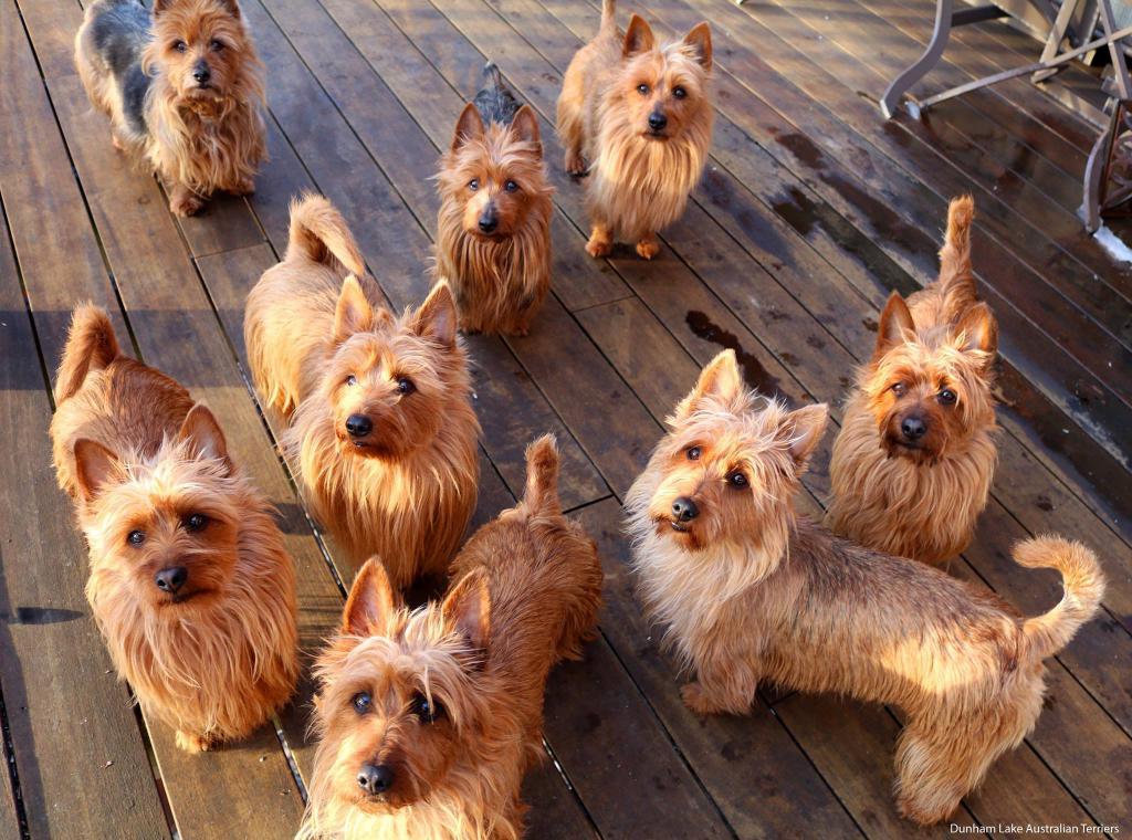 Australian Terrier breed description