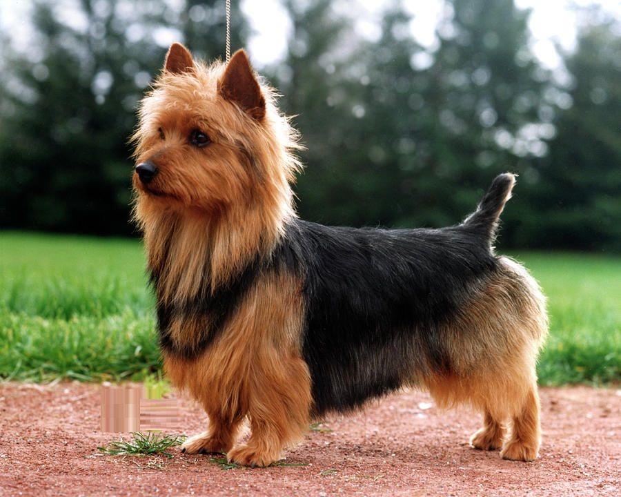 Australian Terrier photo breed description