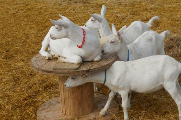 group of zaanensky goats