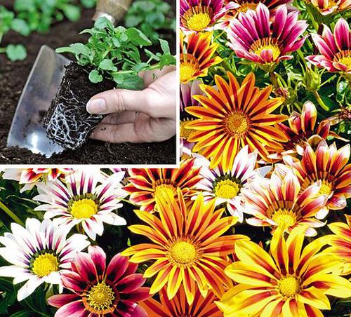 Gazanii seedlings