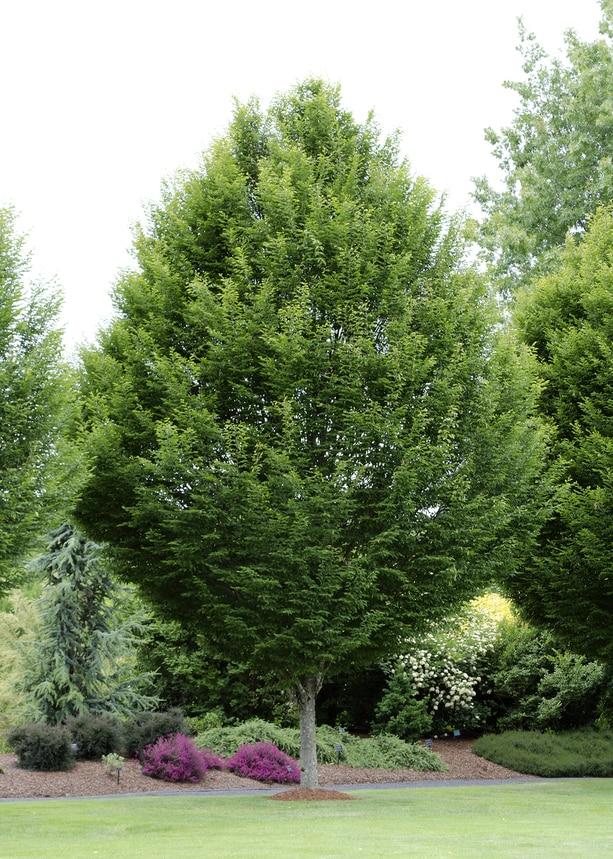 описание дерева граба