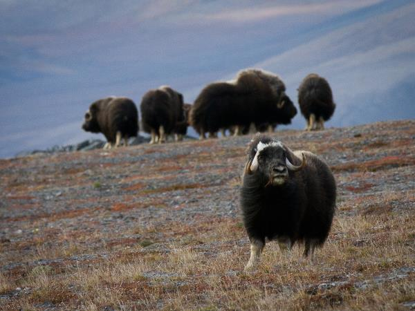 Musk ox brought to the island