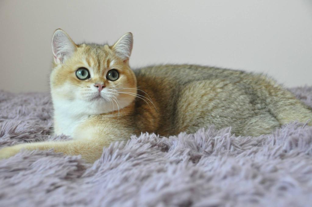 кошка золотистая шиншилла фото копринено, огнено докосване