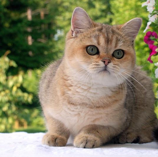 рацион входят кошка золотистая шиншилла фото каждого района указаны