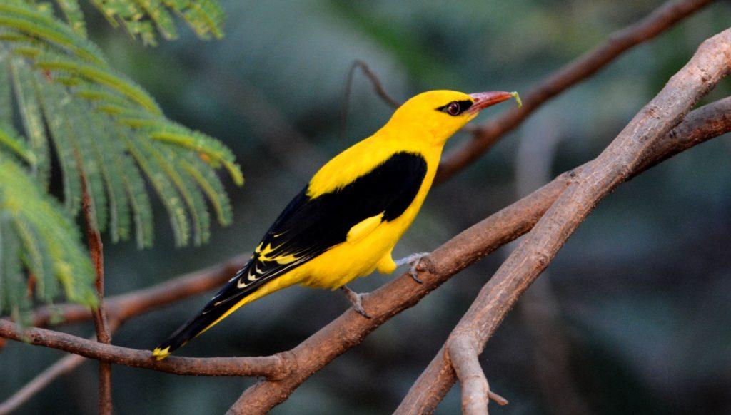 oriole bird photo
