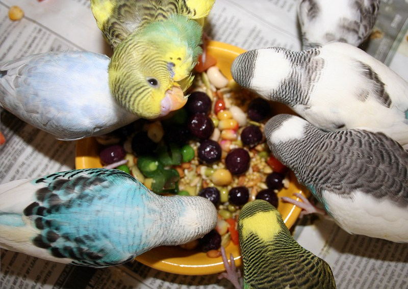 food for wavy parrots