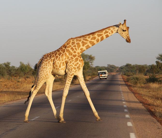 Giraffe on the highway