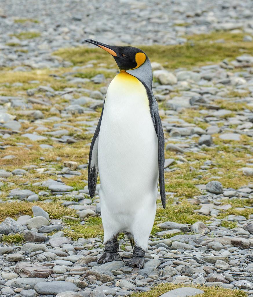 красавиц пингвин