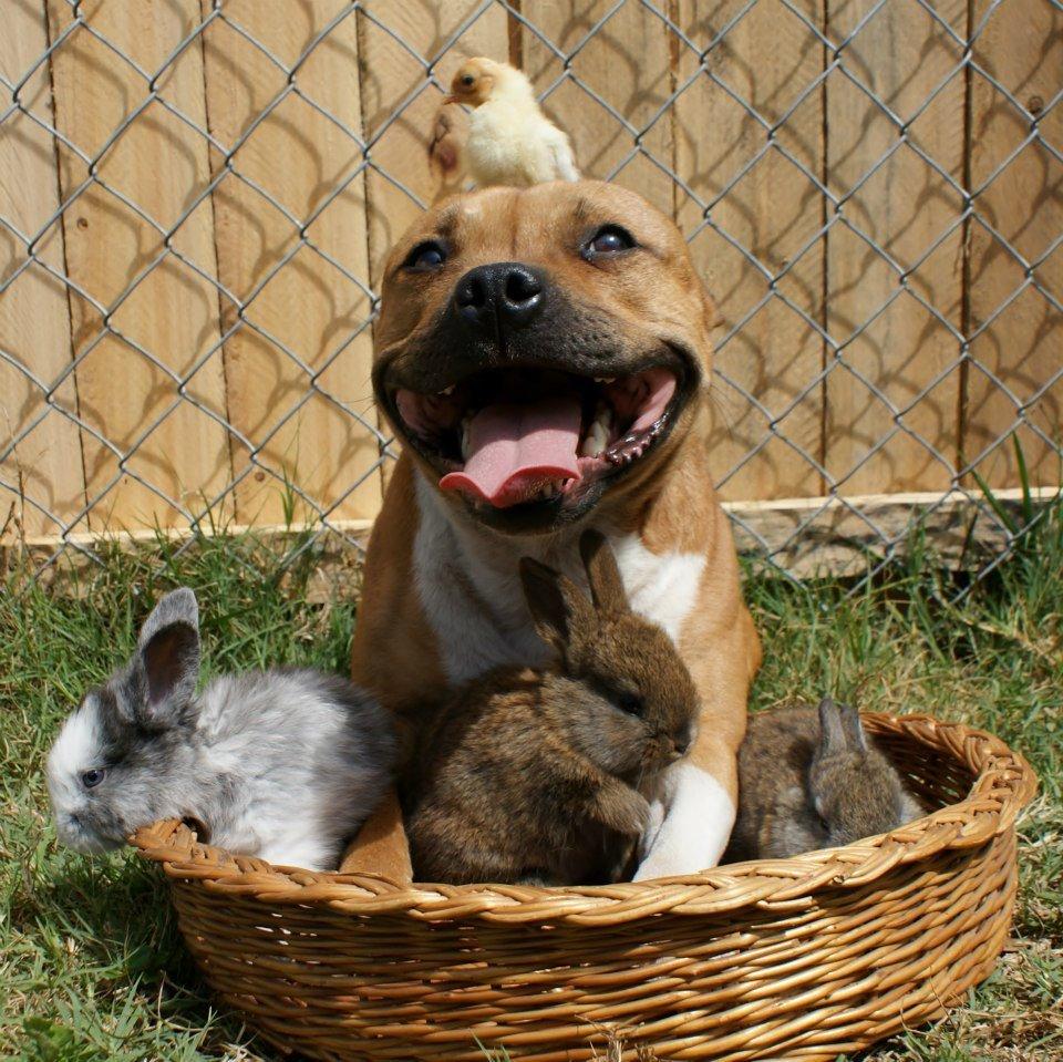 Питбуль достаточно дружелюбная собака