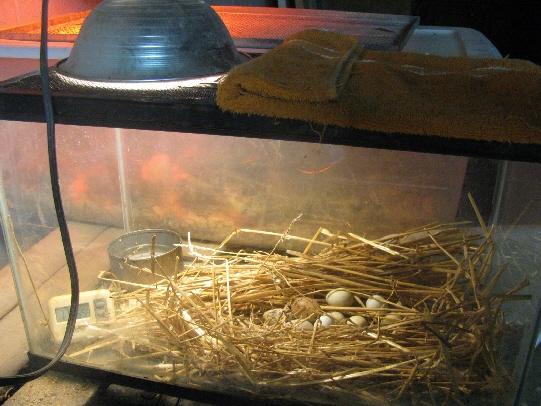 quail eggs incubation