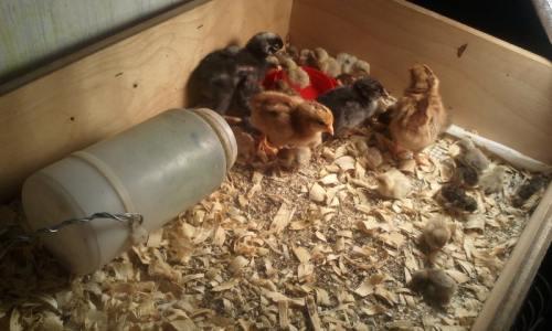 quail incubator
