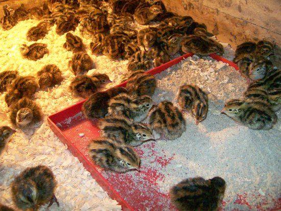 small quails