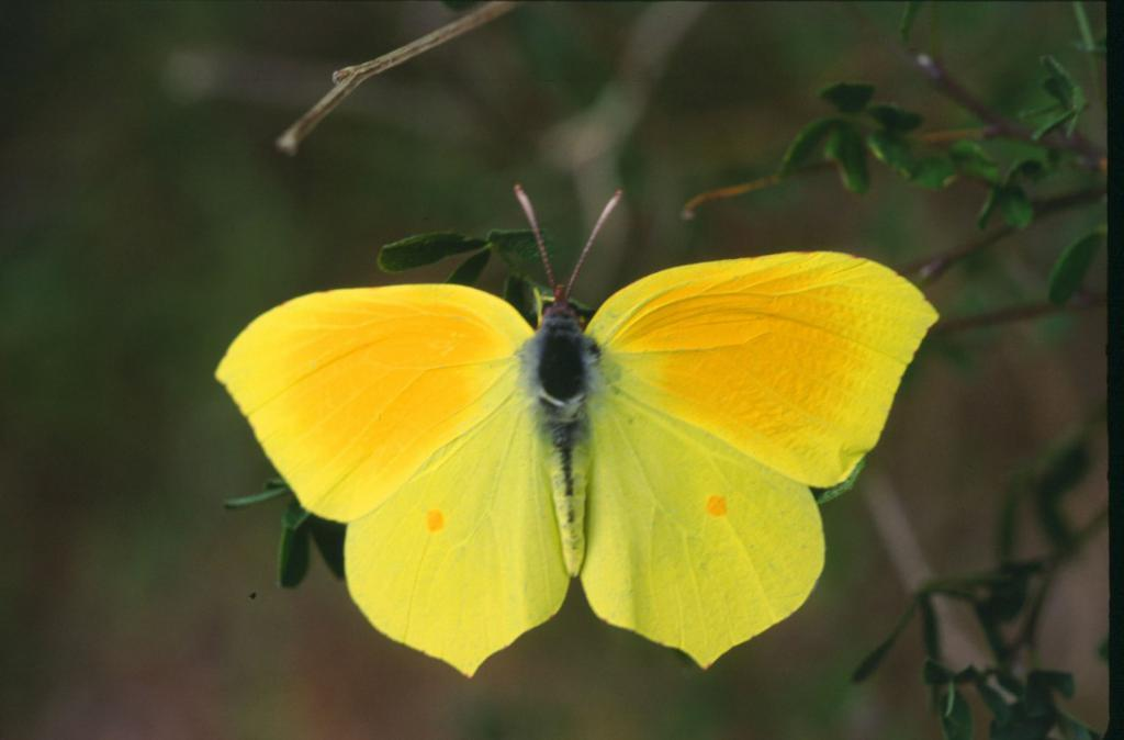 Картинка лимонницы бабочки