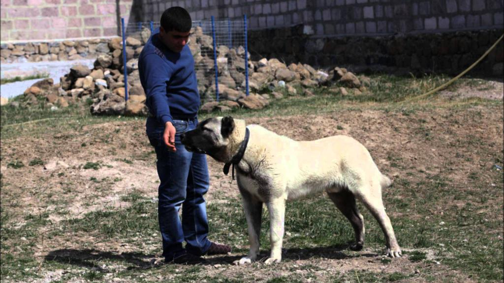 Armenian gampr