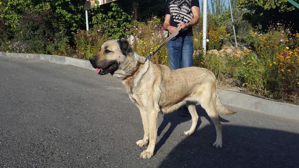 Armenian dog breed