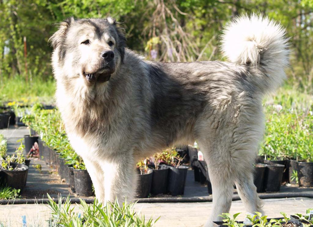the character of the Armenian dog