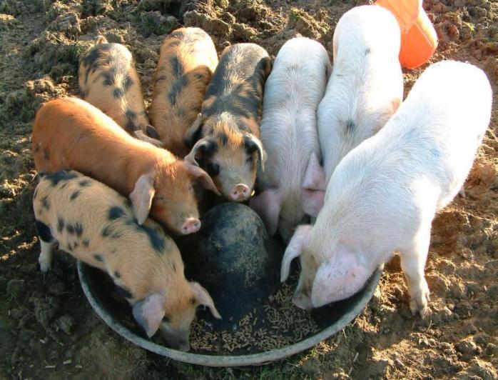 Чем кормить свиней в домашних условиях 36